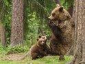 Dieses Motiv ist am 18.09.2018 neu in die Kategorie Fotos von Braunbären in Finnland aufgenommen worden.