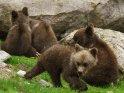 Dieses Motiv ist am 22.03.2018 neu in die Kategorie Fotos von Braunbären in Finnland aufgenommen worden.
