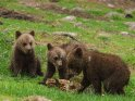 Dieses Motiv ist am 25.07.2017 neu in die Kategorie Fotos von Braunbären in Finnland aufgenommen worden.