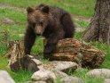 Dieses Motiv ist am 19.08.2018 neu in die Kategorie Fotos von Braunbären in Finnland aufgenommen worden.