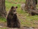 Dieses Motiv ist am 11.05.2017 neu in die Kategorie Fotos von Braunbären in Finnland aufgenommen worden.