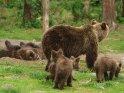 Dieses Kartenmotiv ist seit dem 30. Juli 2015 in der Kategorie Fotos von Braunbären in Finnland.