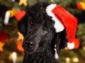 Großpudel mit einer Weihnachtsmütze vorm Weihnachtsbaum