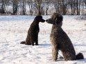 Zwei Pudel im Schnee