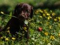Labrador Welpe mit einer Rose