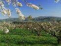 Blühende Kirschbäume bei Witzenhausen in Nordhessen