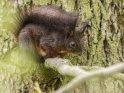 Dieses Motiv wurde am 31. Mai 2016 in die Kategorie Eichhörnchen und andere Hörnchen eingefügt.
