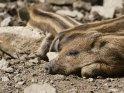 Dieses Motiv befindet sich seit dem 14. Oktober 2017 in der Kategorie Wildschweine.