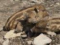 Dieses Motiv finden Sie seit dem 27. Februar 2017 in der Kategorie Wildschweine.