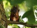Dieses Motiv befindet sich seit dem 27. Juli 2016 in der Kategorie Eichhörnchen und andere Hörnchen.