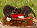 Zwei junge Waschbären spielen auf einem alten Lederkoffer mit einer Weihnachtsmütze