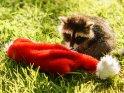 Kleiner Waschbär mit einer Weihnachtsmütze