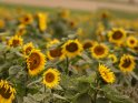 Dieses Motiv ist am 23.09.2017 neu in die Kategorie Sonnenblumen aufgenommen worden.