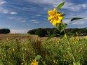 Dieses Motiv ist am 27.09.2016 neu in die Kategorie Sonnenblumen aufgenommen worden.
