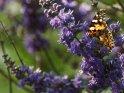 Distelfalter    Dieses Motiv findet sich seit dem 27. September 2017 in der Kategorie Schmetterlinge.