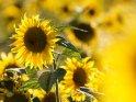Dieses Motiv ist am 25.10.2016 neu in die Kategorie Sonnenblumen aufgenommen worden.