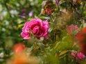 Dieses Motiv ist am 25.07.2017 neu in die Kategorie Rosen aufgenommen worden.