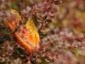 Ahornblatt im herbstlichen Regen