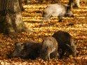 Wildscheine im herbstlichen Laub    Dieses Motiv ist am 30.09.2016 neu in die Kategorie Wildschweine aufgenommen worden.