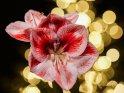 Amaryllis-Blüten mit den Lichtern eines Weihnachtsbaums im Hintergrund    Dieses Kartenmotiv wurde am 18. Dezember 2016 neu in die Kategorie Weitere Blumen aufgenommen.