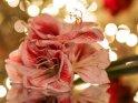 Amaryllis im Licht eines Weihnachtsbaums    Dieses Motiv findet sich seit dem 21. Dezember 2016 in der Kategorie Weihnachtsbilder.