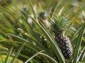 Ananaspflanzen    Dieses Kartenmotiv wurde am 29. März 2016 neu in die Kategorie Sonstige Fotos aus Uganda aufgenommen.