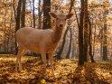 Albinohirsch im Herbstlaub
