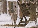 Albinohirsch im verschneiten Wald
