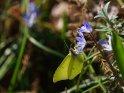 Zitronenfalter mit Sternhyazinthe    Dieses Motiv ist am 25.03.2017 neu in die Kategorie Schmetterlinge aufgenommen worden.