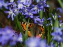 Kleiner Fuchs mit Sternhyazinthen    Dieses Kartenmotiv ist seit dem 27. März 2017 in der Kategorie Schmetterlinge.