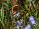 Kleiner Fuchs    Dieses Kartenmotiv wurde am 28. März 2017 neu in die Kategorie Schmetterlinge aufgenommen.