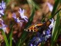 Kleiner Fuchs mit Sternhyazinthen    Dieses Kartenmotiv wurde am 29. März 2017 neu in die Kategorie Schmetterlinge aufgenommen.