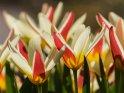 Aus der Kategorie Frühlingsblumen