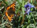 Kleiner Fuchs mit Sternhyazinthe    Dieses Kartenmotiv wurde am 26. März 2017 neu in die Kategorie Schmetterlinge aufgenommen.