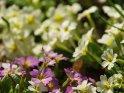 Dieses Kartenmotiv ist seit dem 26. März 2017 in der Kategorie Frühlingsblumen.