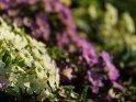Primeln    Dieses Motiv ist am 06.04.2017 neu in die Kategorie Frühlingsblumen aufgenommen worden.