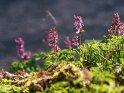 Lerchensporn    Dieses Motiv finden Sie seit dem 31. März 2017 in der Kategorie Frühlingsblumen.