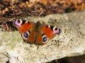 Pfauenauge    Dieses Motiv ist am 23.04.2017 neu in die Kategorie Schmetterlinge aufgenommen worden.