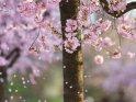 Japanische Kirsche mit fallenden Blütenblättern