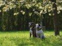 American Staffordshire Terrier und American Pit Bull Terrier unter einem blühenden Kirschbaum