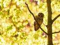 Waldkäuzchen sitzt im Schein einer Laterne auf einem Baum    Dieses Motiv befindet sich seit dem 15. Oktober 2017 in der Kategorie Vögel.