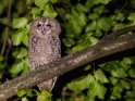 Schreiendes Waldkäuzchen    Dieses Motiv ist am 23.03.2018 neu in die Kategorie Vögel aufgenommen worden.