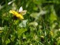 Rapsweißling auf einer Löwenzahnblüte    Dieses Motiv ist am 10.05.2017 neu in die Kategorie Schmetterlinge aufgenommen worden.