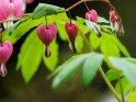 Tränende Herzen    Dieses Motiv ist am 11.05.2017 neu in die Kategorie Frühlingsblumen aufgenommen worden.