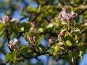 Dieses Motiv ist am 10.05.2017 neu in die Kategorie Apfelblüten aufgenommen worden.