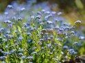 Vergissmeinnicht    Dieses Motiv ist am 17.06.2018 neu in die Kategorie Frühlingsblumen aufgenommen worden.