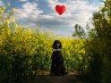 Großpudel sitzt mit einem Herzluftballon in einem Rapsfeld