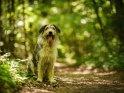 Hund am Rand eines Waldwegs    Dieses Motiv befindet sich seit dem 10. August 2018 in der Kategorie Hunde.