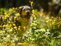 Hund im Blütenmeer    Dieses Motiv finden Sie seit dem 30. Mai 2017 in der Kategorie Hunde.