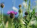 Kornblume    Dieses Motiv ist am 15.06.2018 neu in die Kategorie Frühlingsblumen aufgenommen worden.